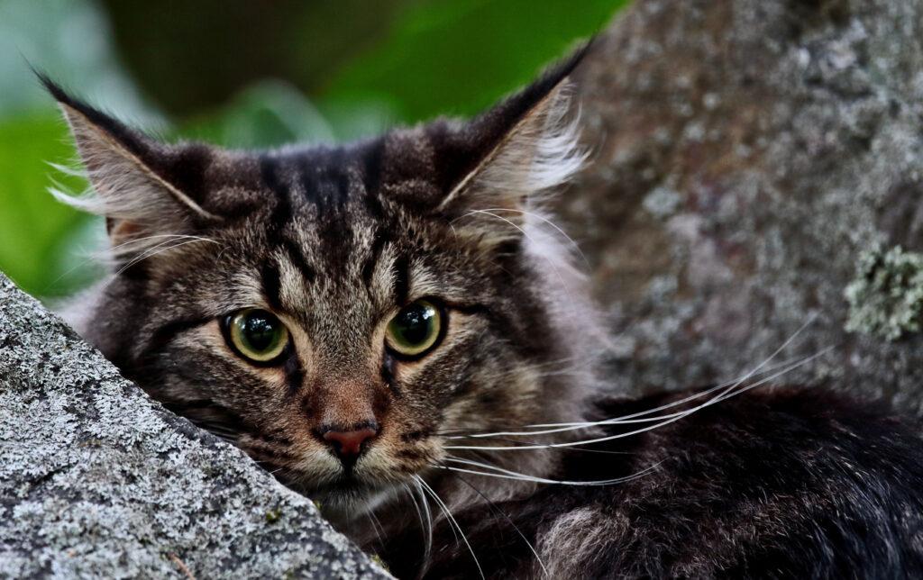 Grau-getigert ist auch beim Aussehen der Norwegischen Waldkatze die häufigste Farbkombination