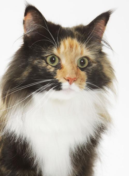Aussehen der Norwegischen Waldkatze - Katze in Tricolor
