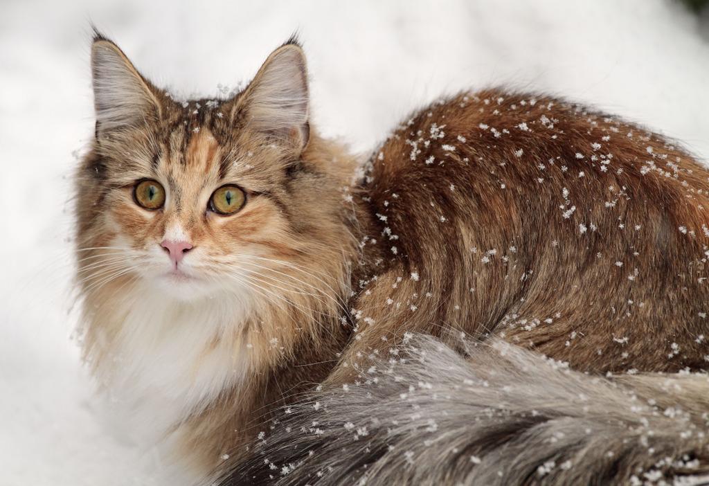 Aussehen der Norwegischen Waldkatze