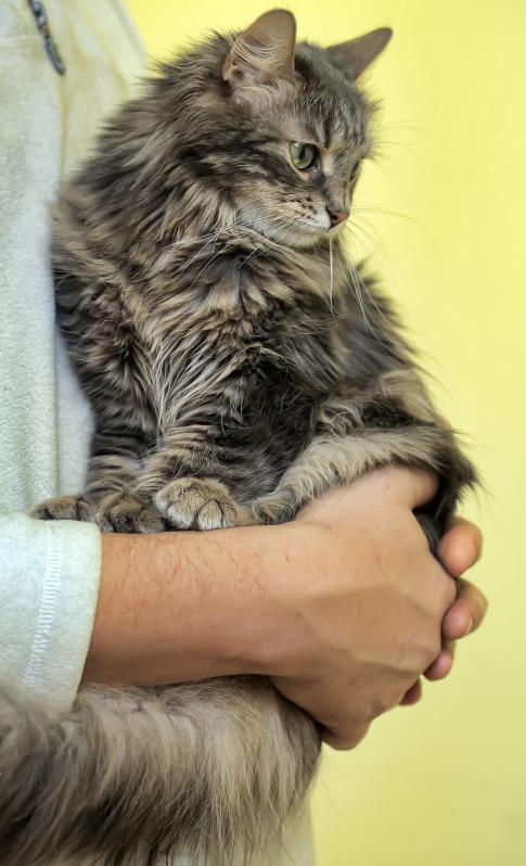 Ein seriöser Norwegische-Waldkatze-Züchter macht ein Kennenlernen vor dem Kauf möglich