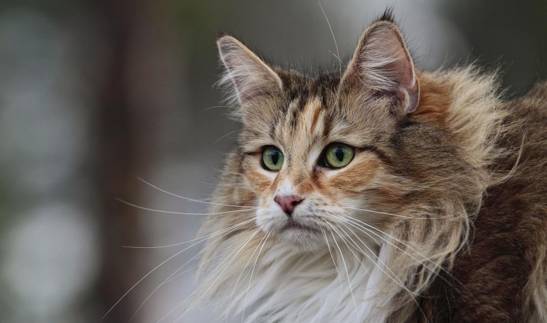 Norwegische Waldkatze Allergie