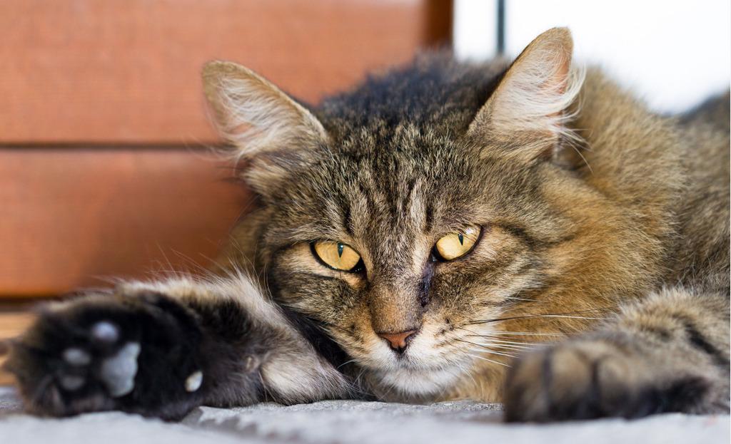 Norwegische Waldkatze anfällig für Krankheiten