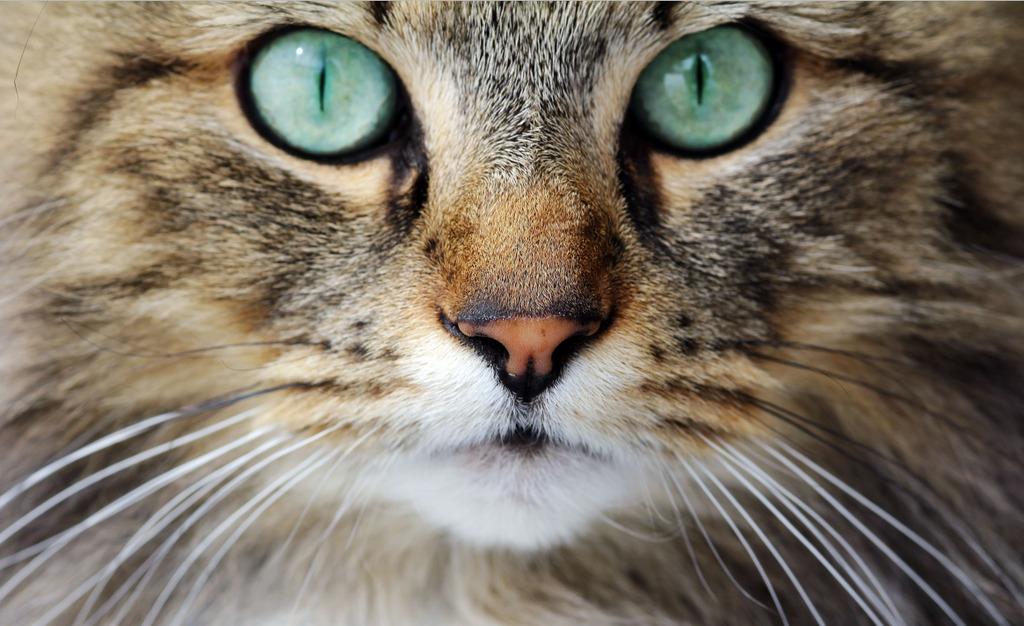 Norwegische Waldkatze - Charakter