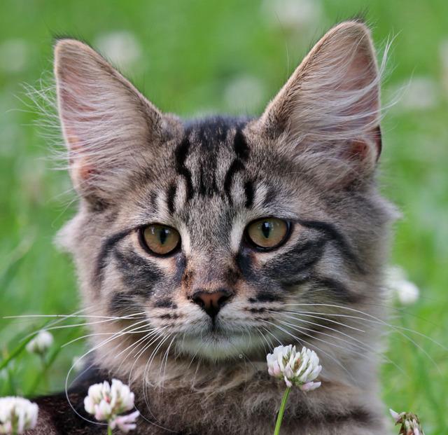 Das typische Aussehen der Norwegischen Waldkatze zeigt sich schon bei den Kitten