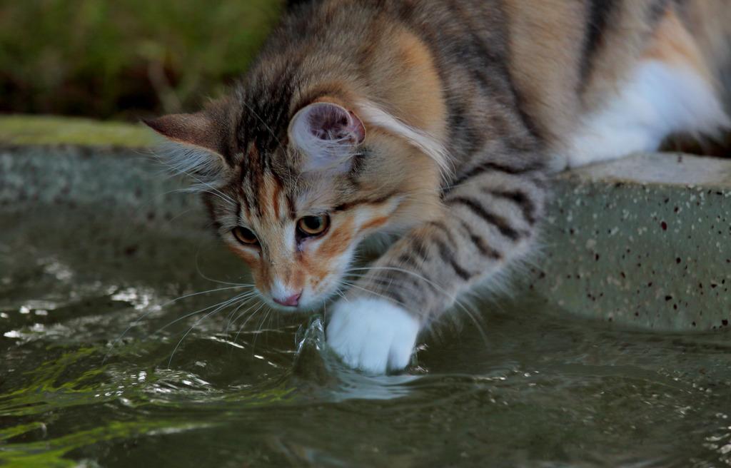 Auch wenn die Norwegische Waldkatze liebend gerne - auch im Wasser - jagt, ist sie auf gute Haltung und Pflege mit hochwertigem Futter angewiesen
