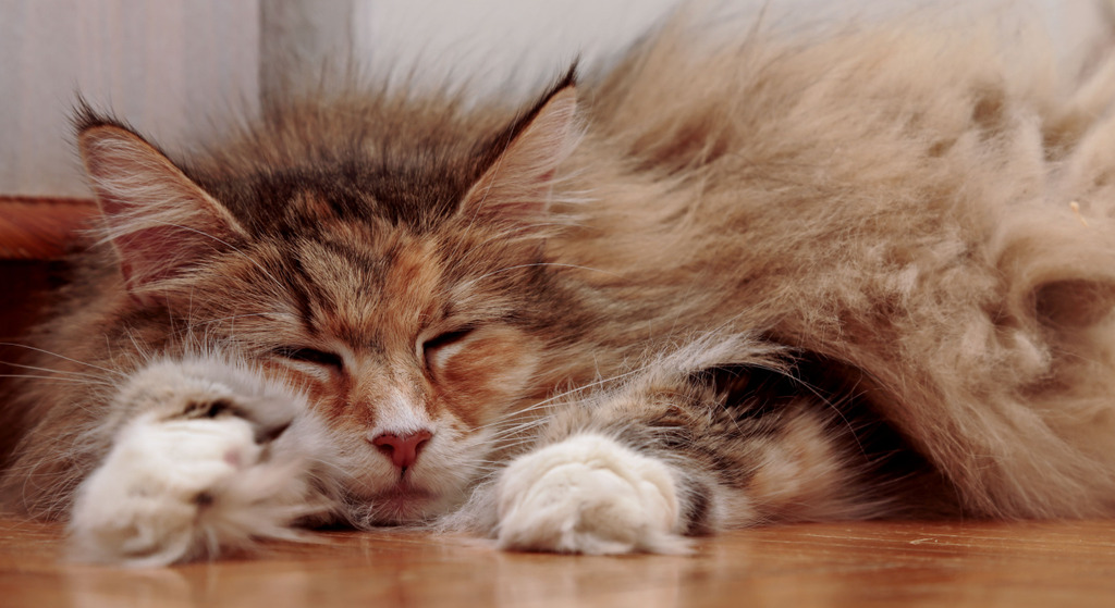 Die Norwegische Waldkatze im Alter braucht mehr Ruhe und Schlaf als junge Katzen