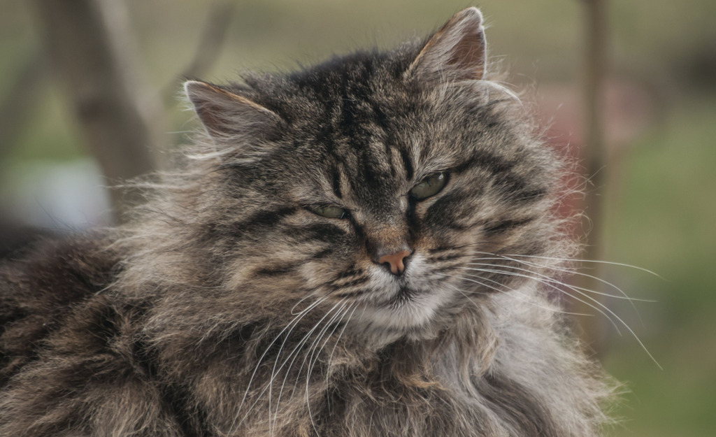 Norwegische Waldkatze im Alter