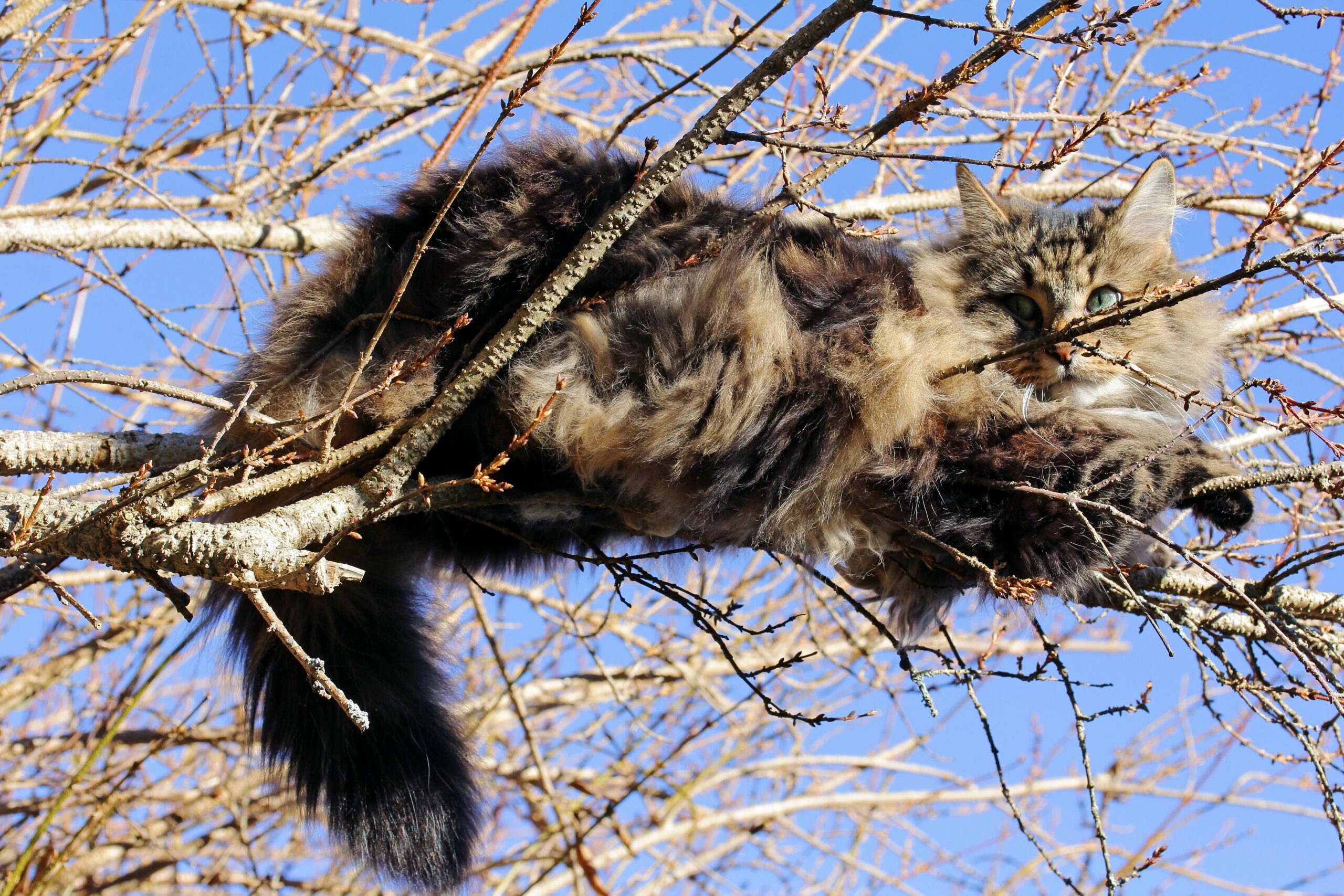 Norwegische Waldkatze Tierheim