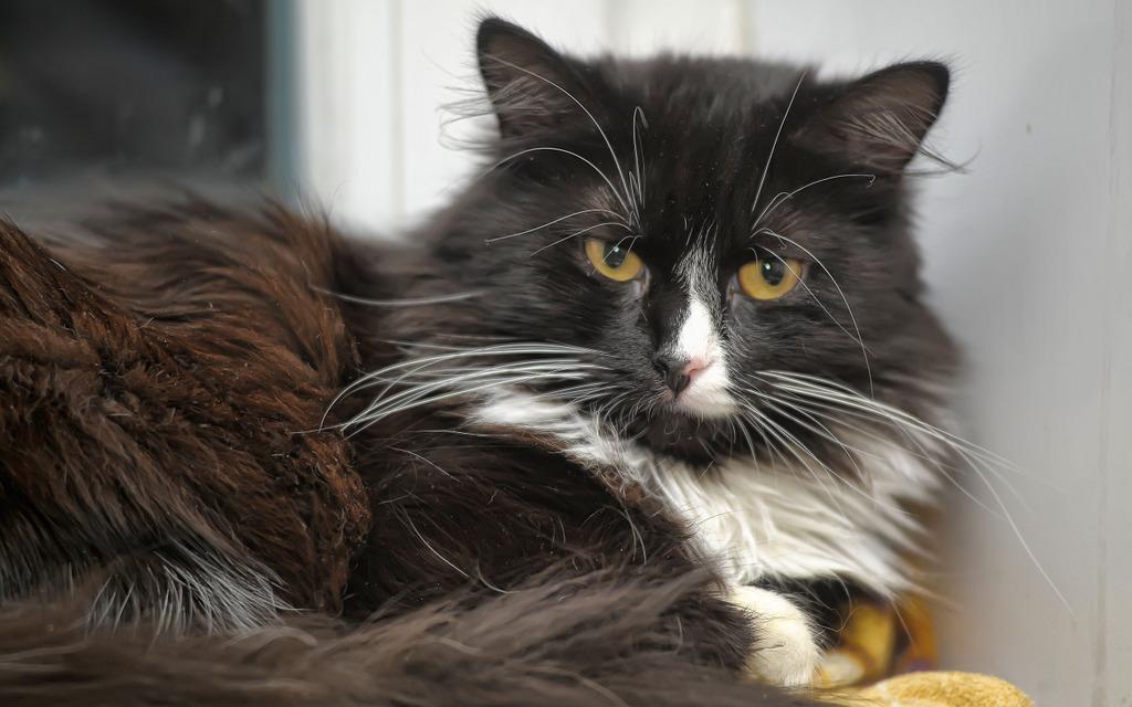 Eine Norwegische Waldkatze in Not lässt sich über verschiedene Anlaufstellen finden