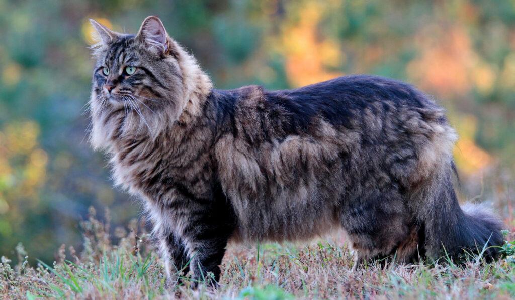 Wer eine Norwegische Waldkatze kaufen will, muss im Vorfeld vieles klären