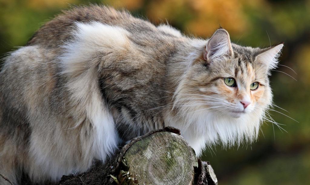 Norwegische Waldkatze kaufen