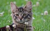 Norwegische Waldkatze Kitten_