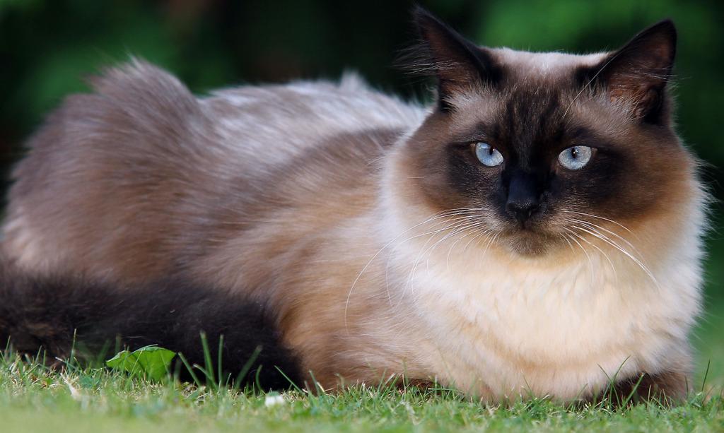 Norwegische Waldkatze Lebenserwartung