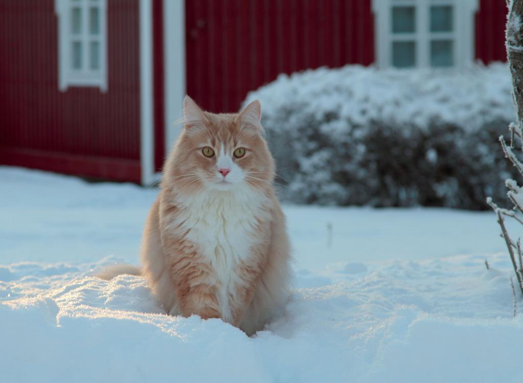 Die Norwegische Waldkatze stammt, wie der Name verrät, aus dem hohen Norden.