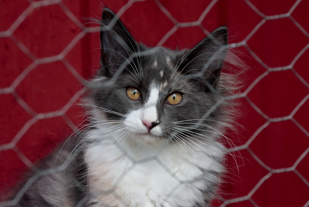 Auch wenn die Norwegische Waldkatze im Tierheim gut behandelt wird, hofft sie auf ein neues Zuhause