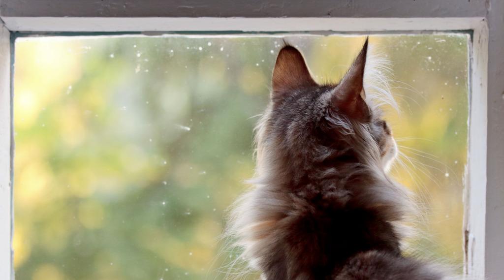 Wohnungshaltung stellt für die Norwegische Waldkatze nicht zwingend ein Problem dar, fehlende Gesellschaft jedoch schon