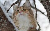 Norwegische Waldkatze Wohnungshaltung