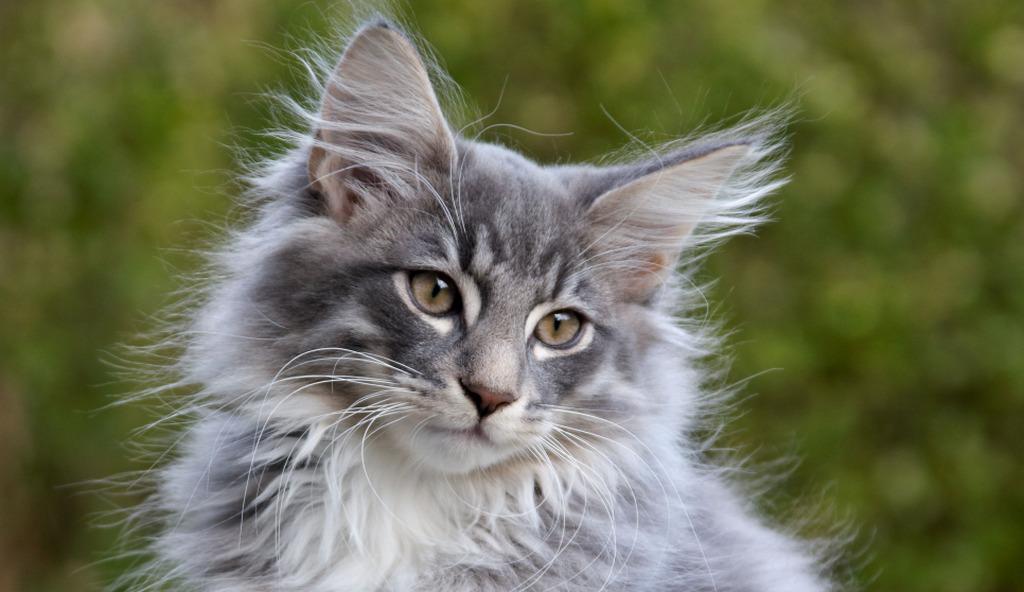 Norwegische Waldkatze zu verschenken