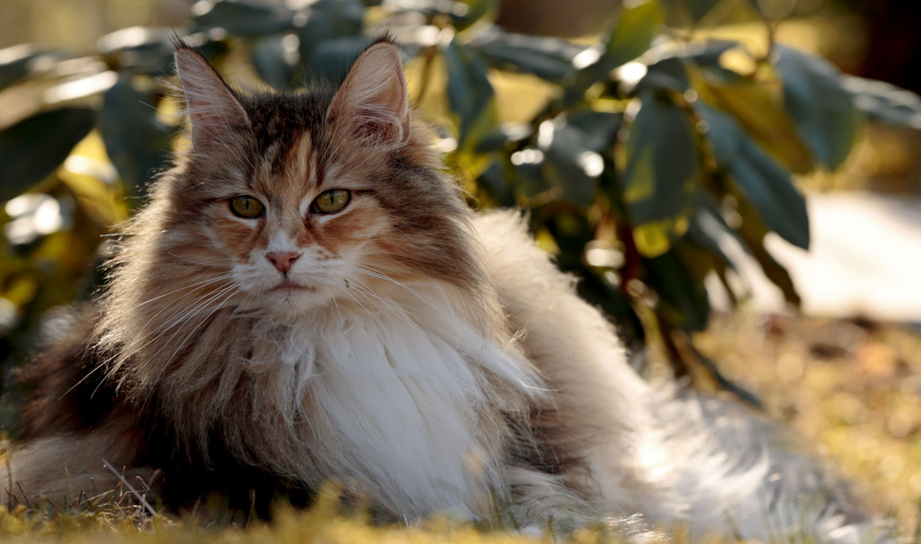 Urlaub mit der Norwegischen Waldkatze